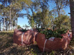 Sacos de erva-mate, recém colhidas, no campo.